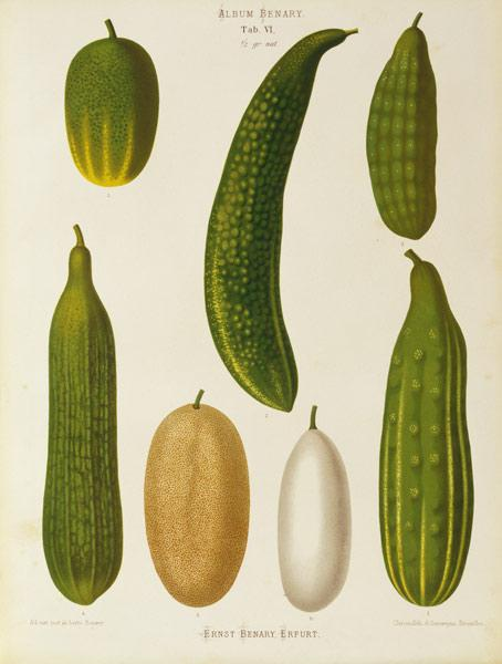 Cucumber / Album Benary / Lithograph