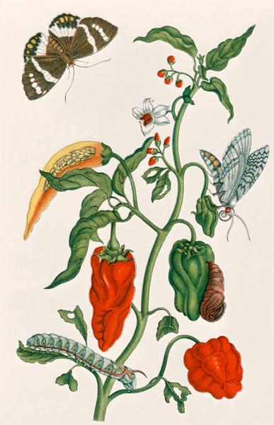 Spanish Pepper / M. S. Merian