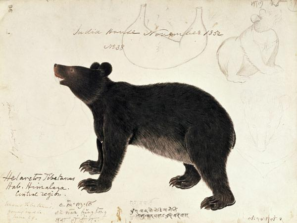 "Drawing of an Asiatic Black Bear, ""Ursus Tibetanus"", from the Central Region of Himalaya"
