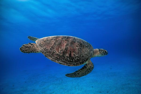 Green turtle in the blue