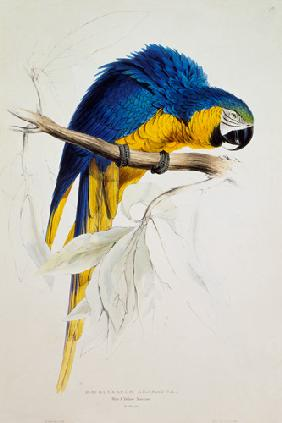 The blue yellow macaw