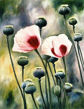 Poppy with buds
