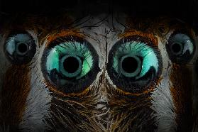 jumping spider eyes