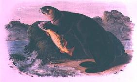 Sea Otter from Quadrupeds of North America (1842-5)