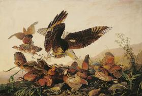 Red-Shouldered Hawk Attacking Bobwhite Partridges