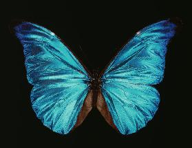 Morpho rhetenor.