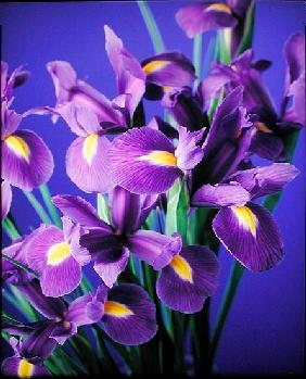 Flag Irises, 1998 (colour photo)