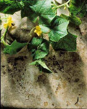Mask & squash leaves, 1994 (colour photo)