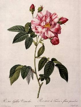 Rosa gallica versicolor (French rose), engraved by Langlois, from 'Les Roses'