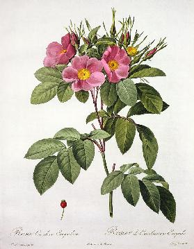 Rosa Carolina Corymbosa, engraved by Langlois, from 'Les Roses'