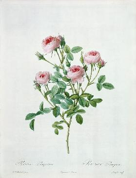 Rosa pomponia, engraved by Langlois, from 'Les Roses'