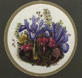 Iris Histriodes, Aconite and Cyclamen (w/c on paper)