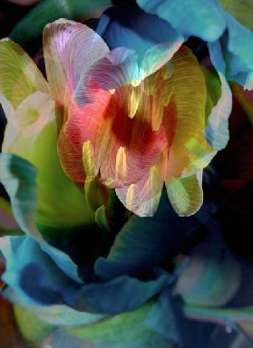Tulip abstract II